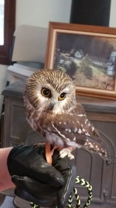 A nonreleasable Northern Saw-Whet Owl that was hit by a car and now has permanent eye damage.