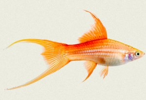 swordtail-rose-pineapple-lyretail