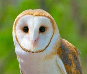 owl audubondotorg